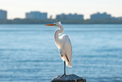 Great Egret